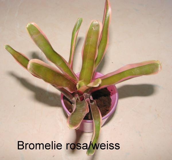 Bromelien (Ableger)