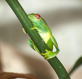 Madegassischer Laubfrosch (Boophis luteus)