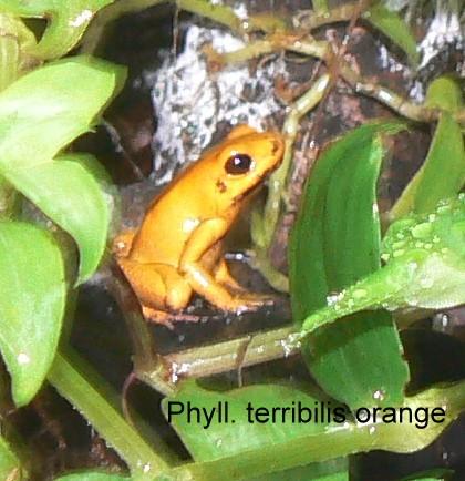 "Phyllobates terribilis ""orange"""
