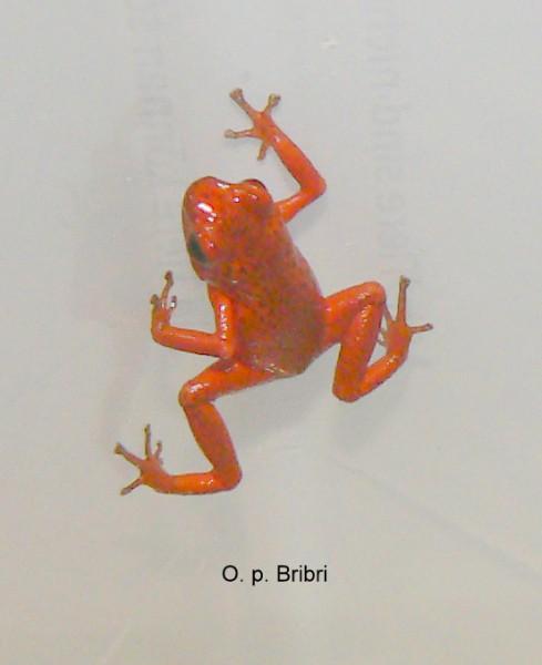 """Oophaga pumilio """"Bribri"""" (Erdbeerfrosch)"""