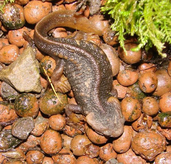 Thylototroton verrucosus (Krokodilmolch)