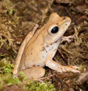 Weissbart-Ruderfrosch Jungtiere(Polypedates leucomystax)