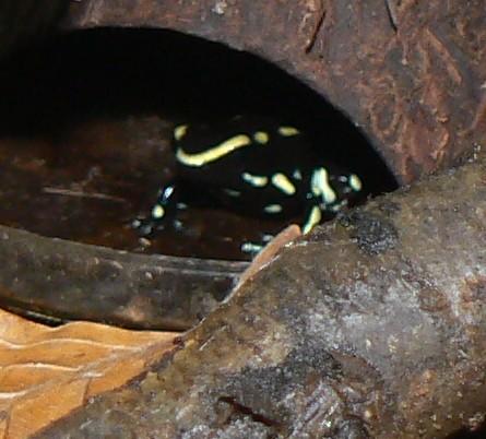 Dendr, truncatus spec