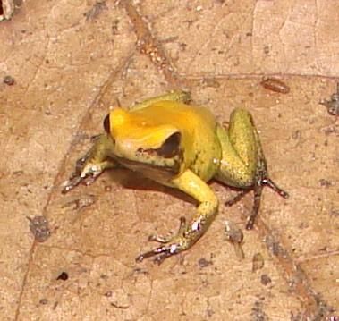 Zweifarbiger Blattsteiger (Phyllobates bicolor)