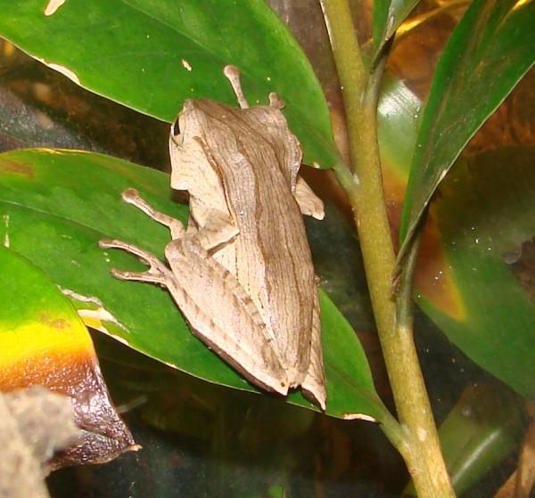 Ohrenfrosch (Polypedates otilophus) adult