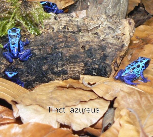 """Dendrobates azureus """"bright"""""""