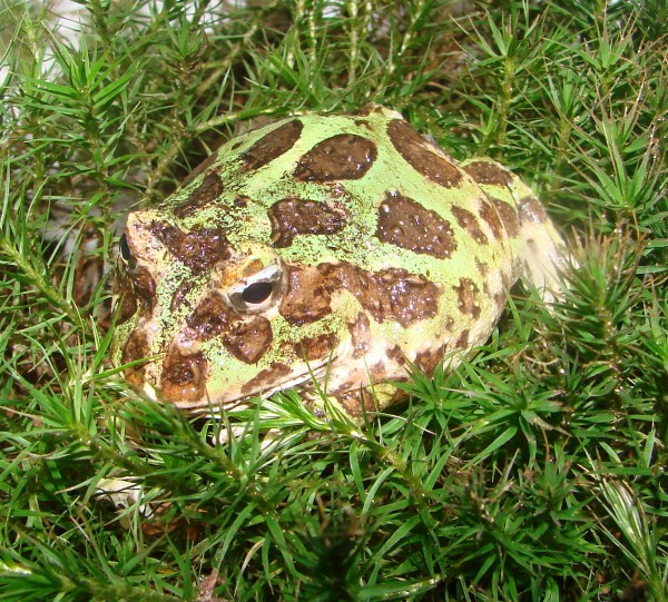 Schmuckhornfrosch (Ceratophrys cranwelli)