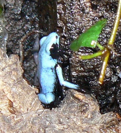 Adelphobates galactonodes-blau